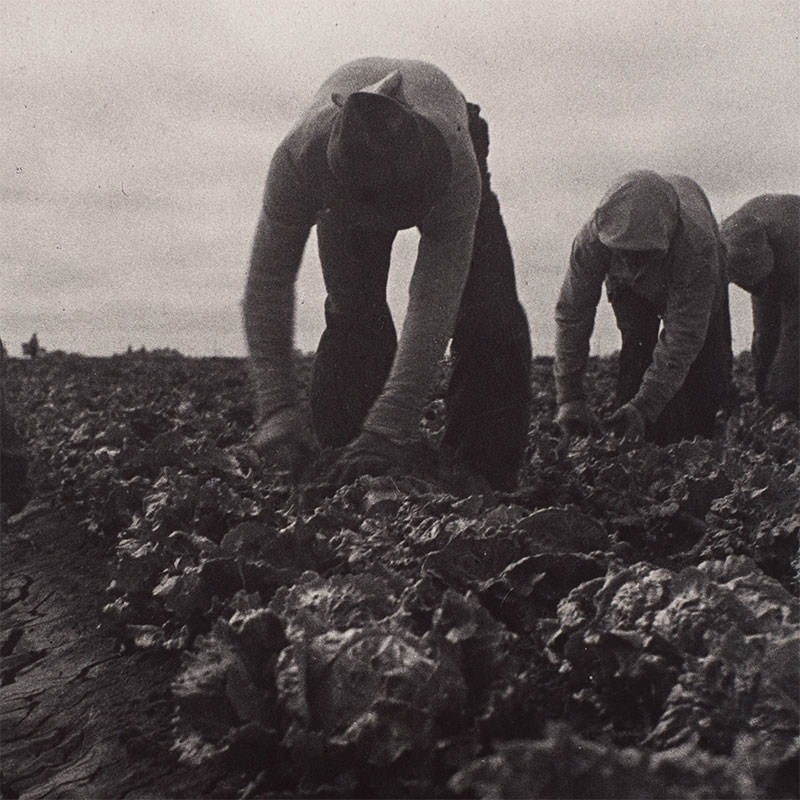 Detail of Filipinos Cutting Lettuce, Salinas, California by Dorothea Lange